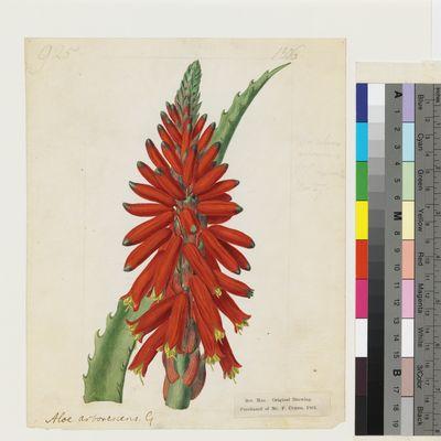 Aloe arborescens Mill. original illustration from Curtis's Botanical Magazine