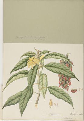 Michelia champaca Willd., watercolour on paper