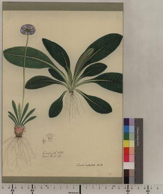 Primula denticulata (59)