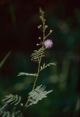Mimosa L.