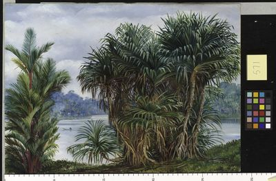 A Clump of Screw Pine and Palm with a glimpse of the river, Sarawak (Borneo)