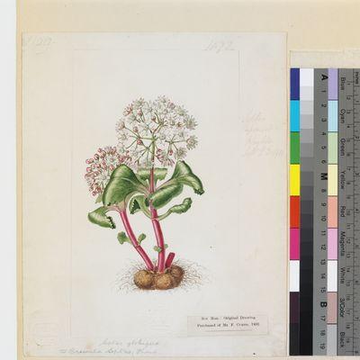 Septas globiflora original illustration from Curtis's Botanical Magazine