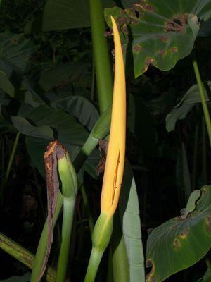 Colocasia esculenta 3