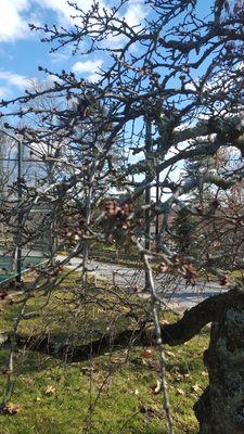 Prunus 'Wayside Weeper'