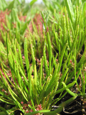 Ranunculus minimus