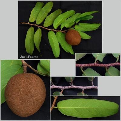 Hydnocarpus castaneus