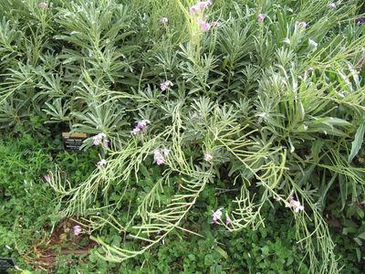 Matthiola incana subsp. pulchella