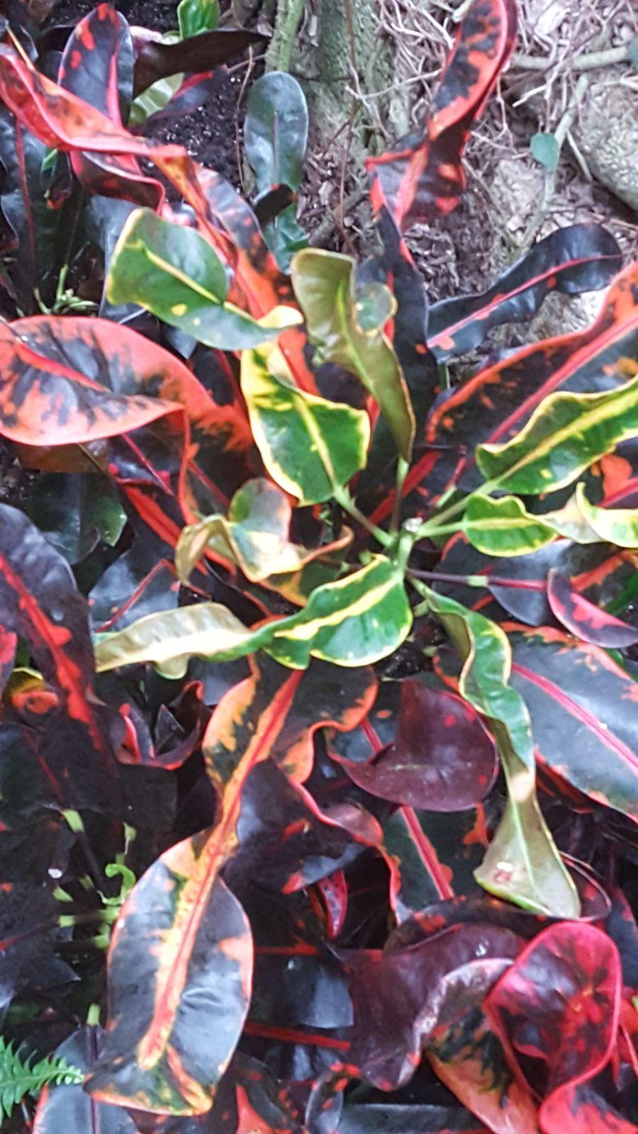 Codiaeum Variegatum (L.) Rumph. Ex A.Juss.
