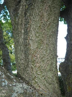Phellodendron amurense