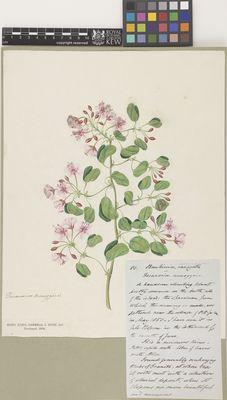 Bauhinia variegata (corymbosa)