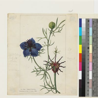 Nigella hispanica Desf. original illustration from Curtis's Botanical Magazine