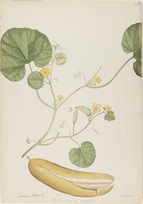 Cucumis momordica R., watercolour on paper