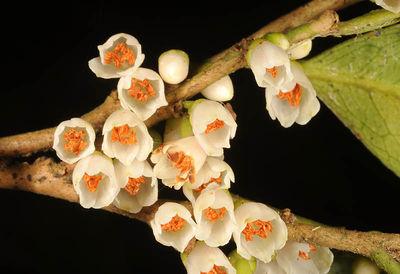 Eurya acuminatissima