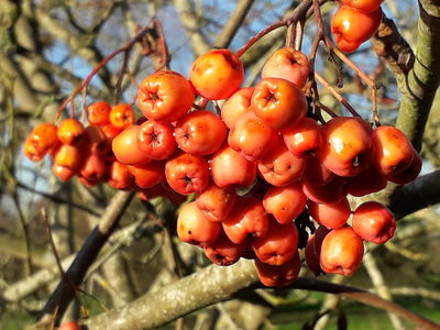 Sorbus maderensis