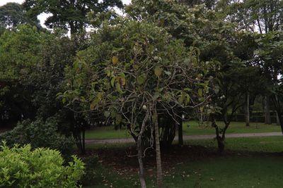 Solanum betaceumCav.