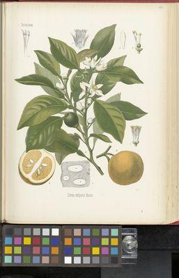 Citrus vulgaris, Köhler