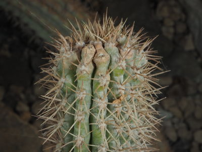 Echinopsis thelegonoides
