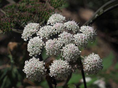 Angelica polymorpha