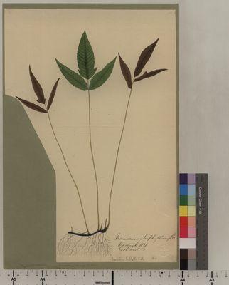 Meniscium hiphyllum (164)