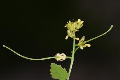 Sisymbrium erysimoides