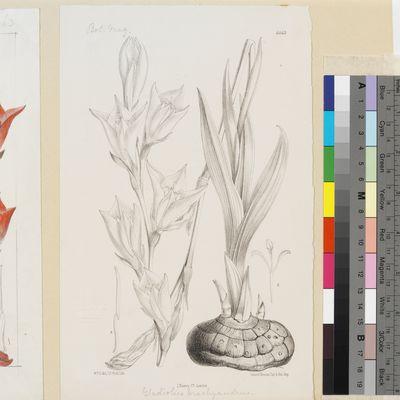 Gladiolus brachyandrus Baker published illustration from Curtis's Botanical Magazine