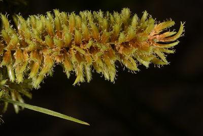 Cyperus dives