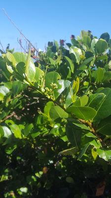 Chrysobalanus icaco subsp. icaco