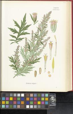 Artemisia vulgaris, Kohler