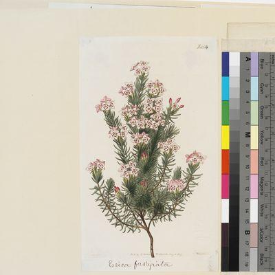 Erica fastigiata published illustration from Curtis's Botanical Magazine