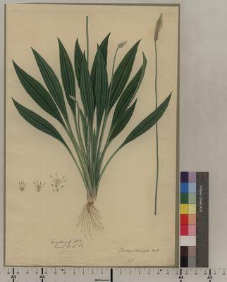 Plantago attenuata (48)