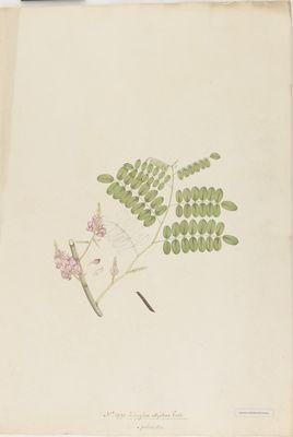Indigofera elliptica Roxb., watercolour on paper