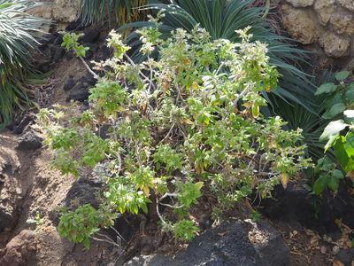 Echium strictum