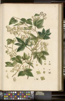 Hop (humulus lupulus), Miller