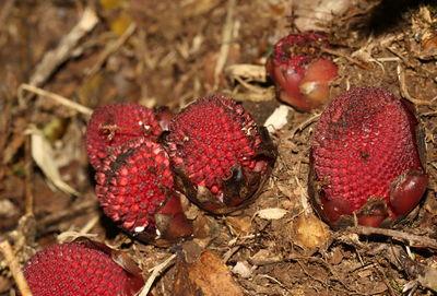 Balanophora fungosa subsp. indica