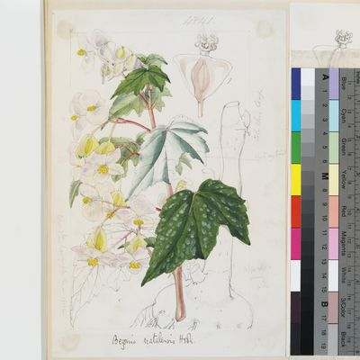Begonia natalensis original illustration from Curtis's Botanical Magazine