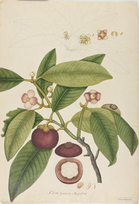 Garcinia mangostana Willd., watercolour on paper