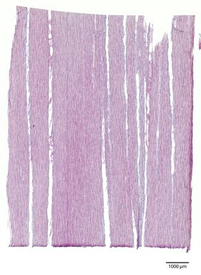 A specimen from Kew's microscope slide collection - tangential longitudinal section of wood. Image ref: KMIC000628_2016.08.19-S2