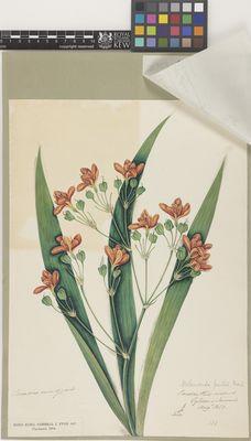 Pardanthus sinensis