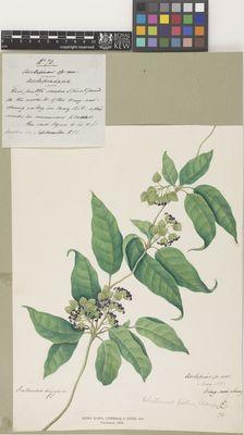 Asclepias sp. nov. (Holostemma picta)