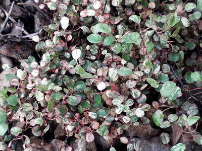 Muehlenbeckia complexa 'Pink Camouflage'