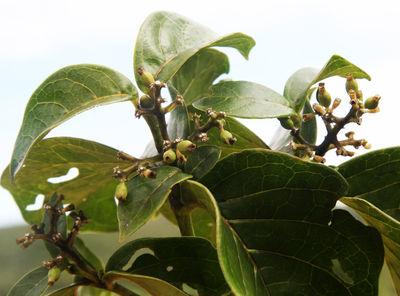 Coussarea congestiflora Müll.Arg.