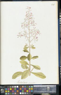 Portulaca paniculata