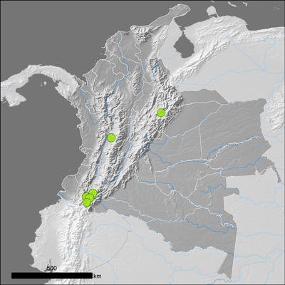 Amaranthus caudatus L.