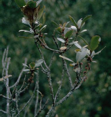 Myrsine coriacea (Sw.) R.Br. ex Roem. & Schult.