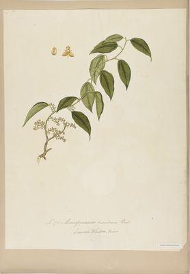 Menispermum triandrum R., watercolour on paper