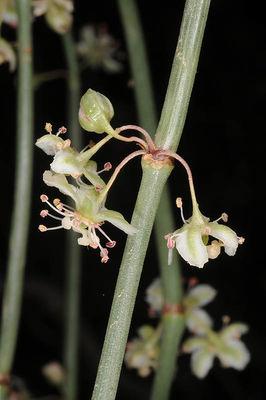 Calligonum comosum