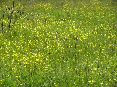 Ranunculus subtatricus