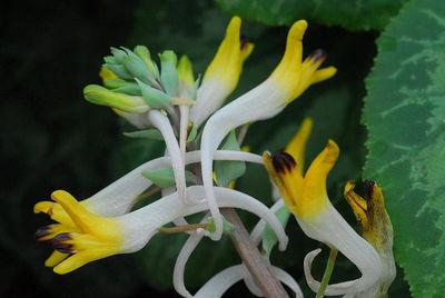 Corydalis ainae