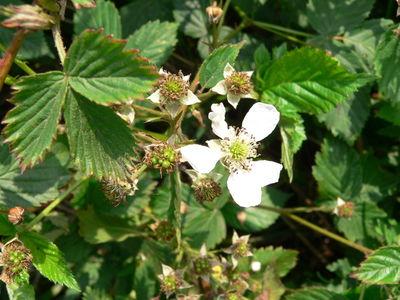 Rubus plicatus