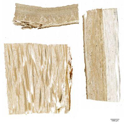 A specimen from Kew's microscope slide collection - bark. Image ref: KMIC000631_2016.09.13-S2